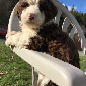Bella - F1 Bordoodle puppy