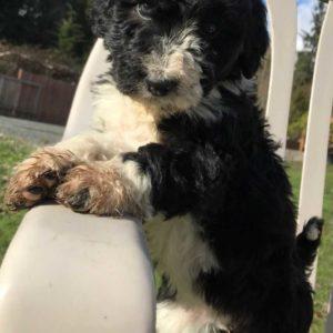 Daisy - F1 Bordoodle Puppy