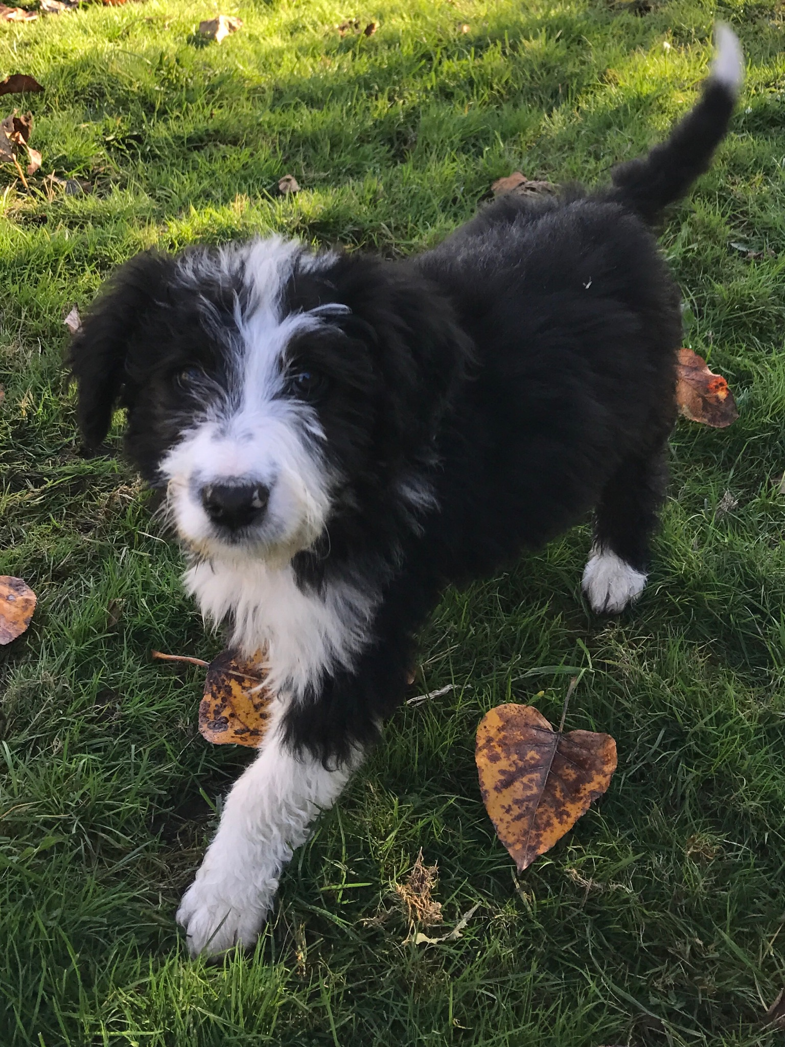 Dover (F1 Bordoodle puppy for sale )