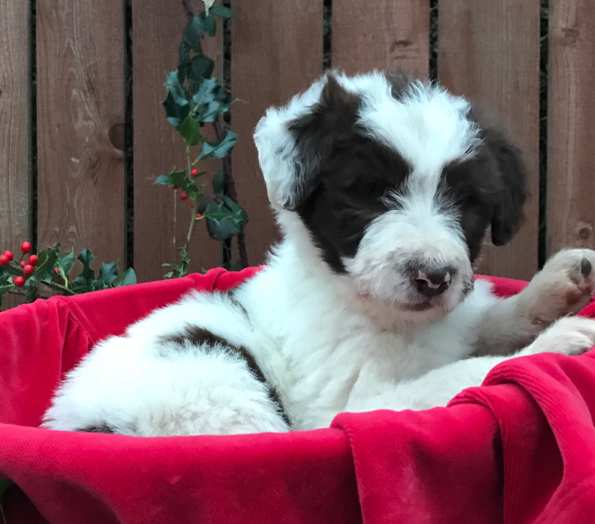 Noel - bordoodle puppy for sale