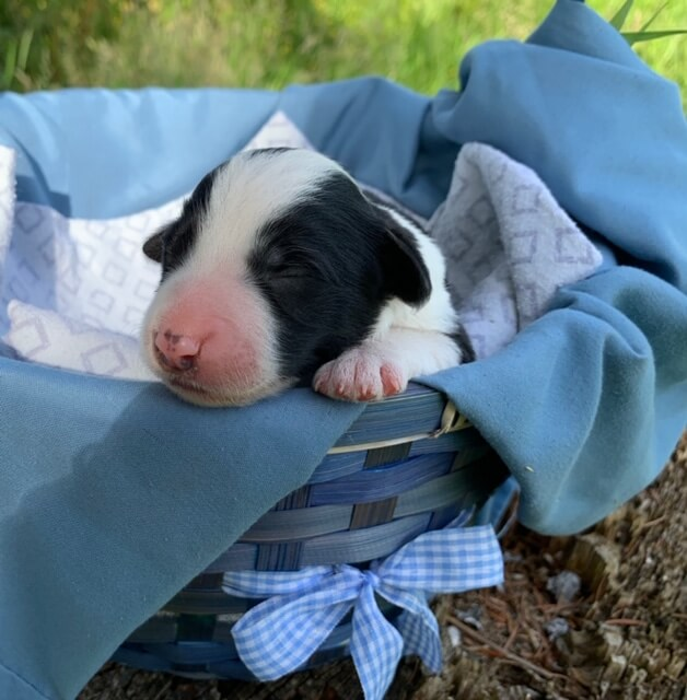 Tootsie Roll - Bordoodle puppy for sale