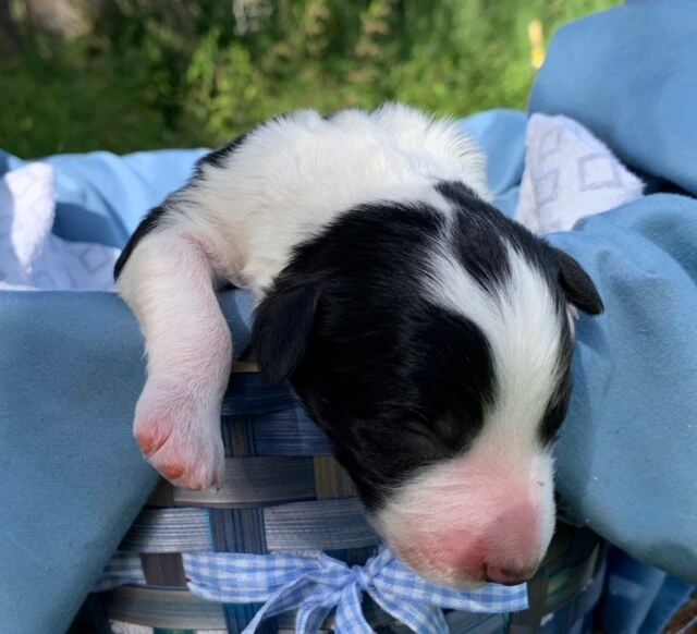 Brown and White Bordoodle puppy for sale - Cocoa