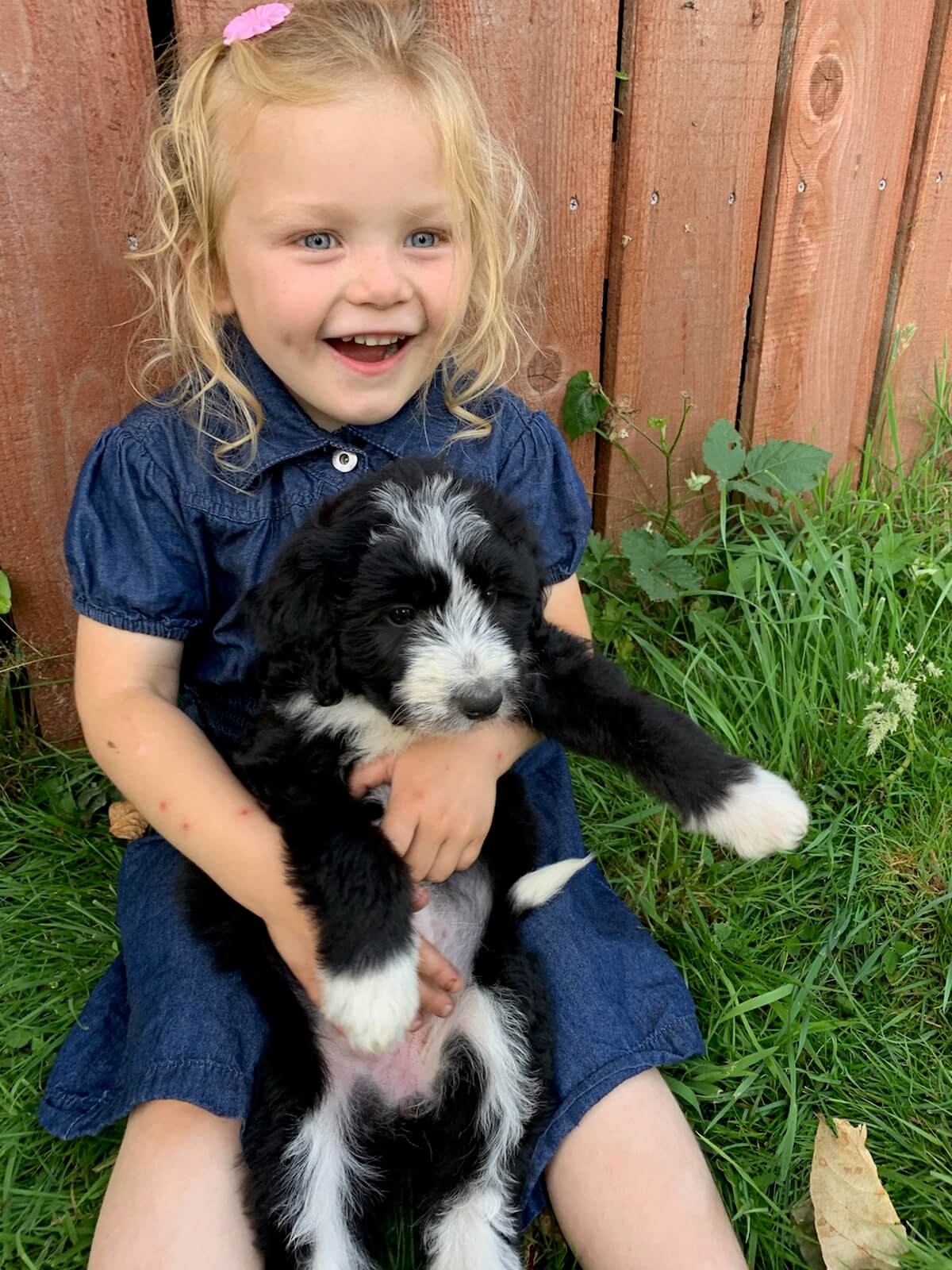 Bordoodle Puppies For Sale | Doodle Puppy