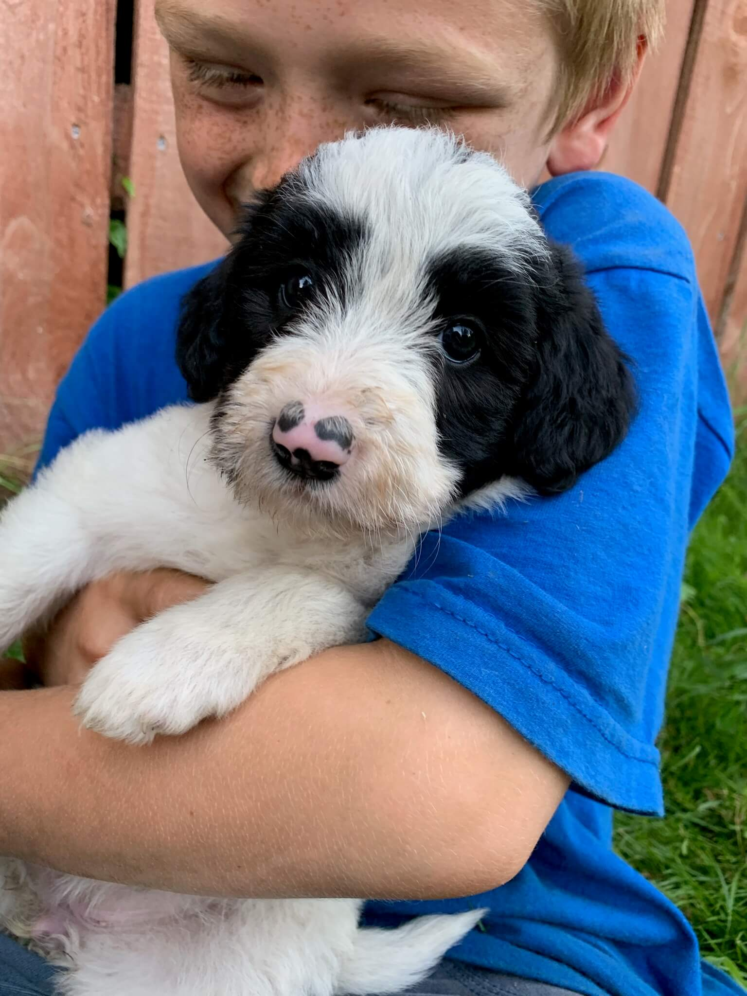 bordoodle puppy for sale - Daisy