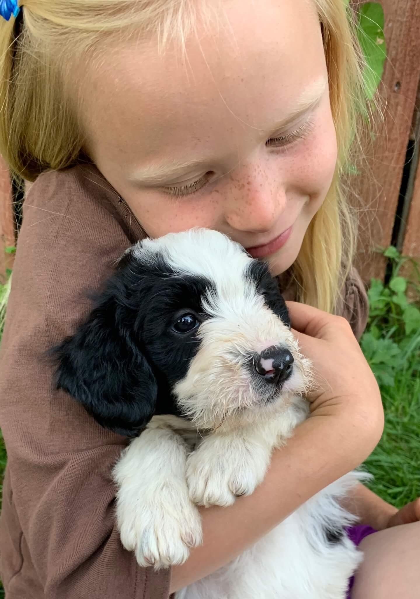 Bordoodle puppy - Ivy