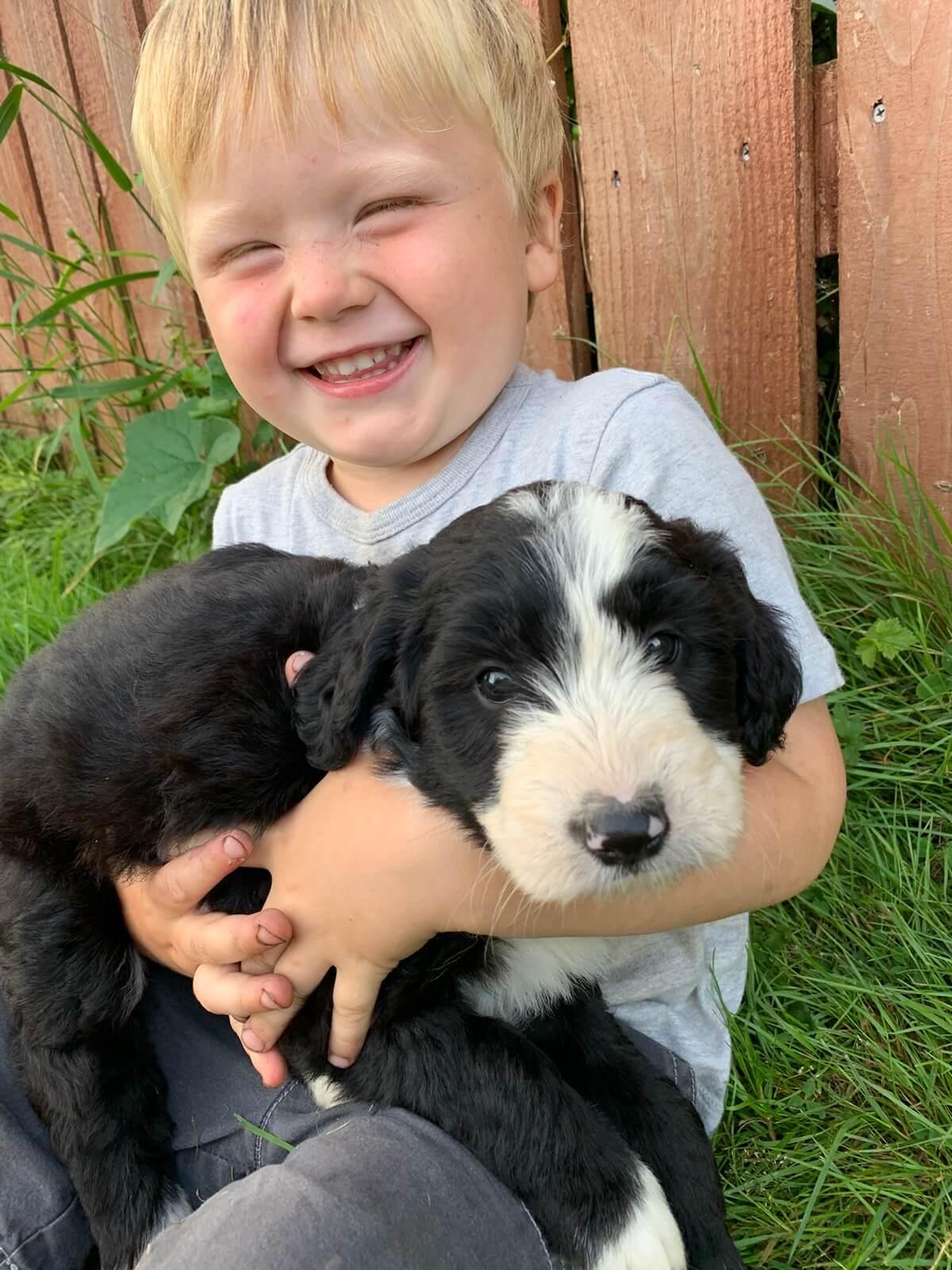 bordoodle puppy - Katie