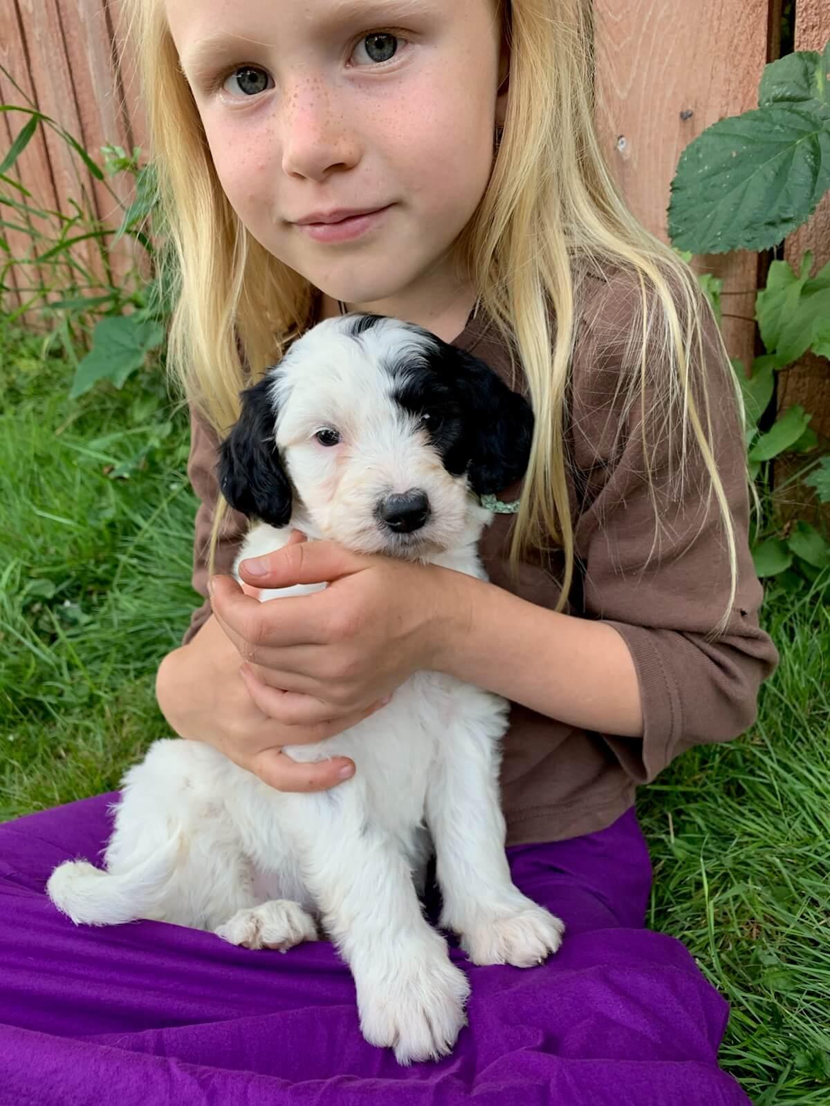 Nina - Bordoodle puppy
