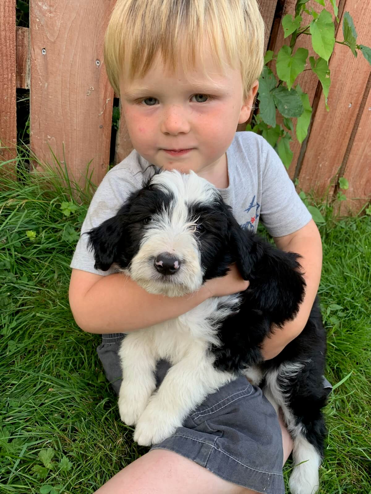 Ollie - Bordoodle puppy for sale