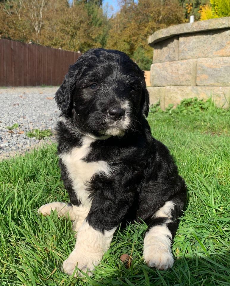 Bordoodle puppy - Zoe