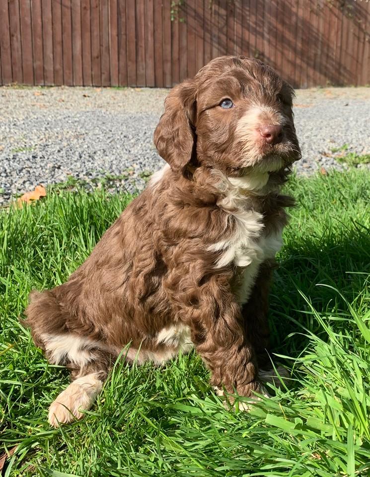 Bordoodle Puppy for sale - Pebbles