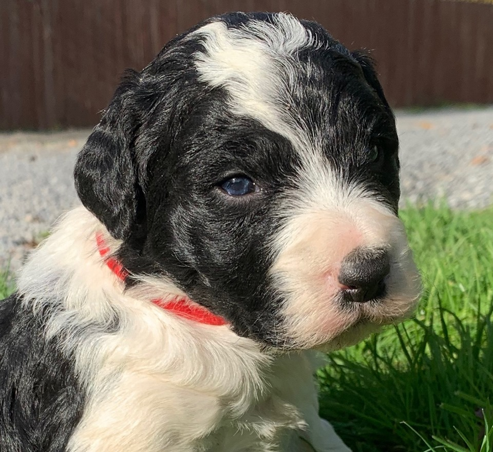 black and white bordoodle puppy - Willow