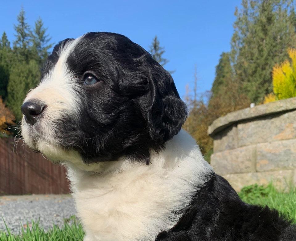 Bordoodle Puppy - Joey