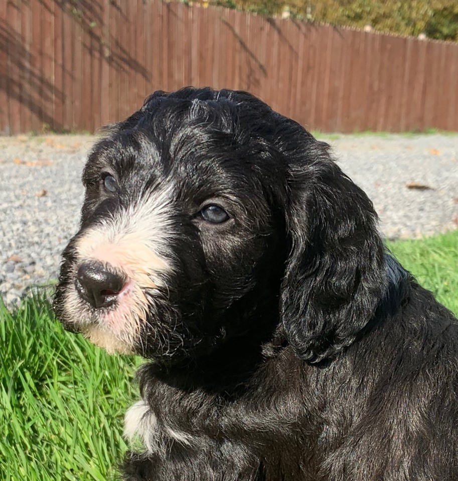 Bodoodle puppy for sale - Bonnie