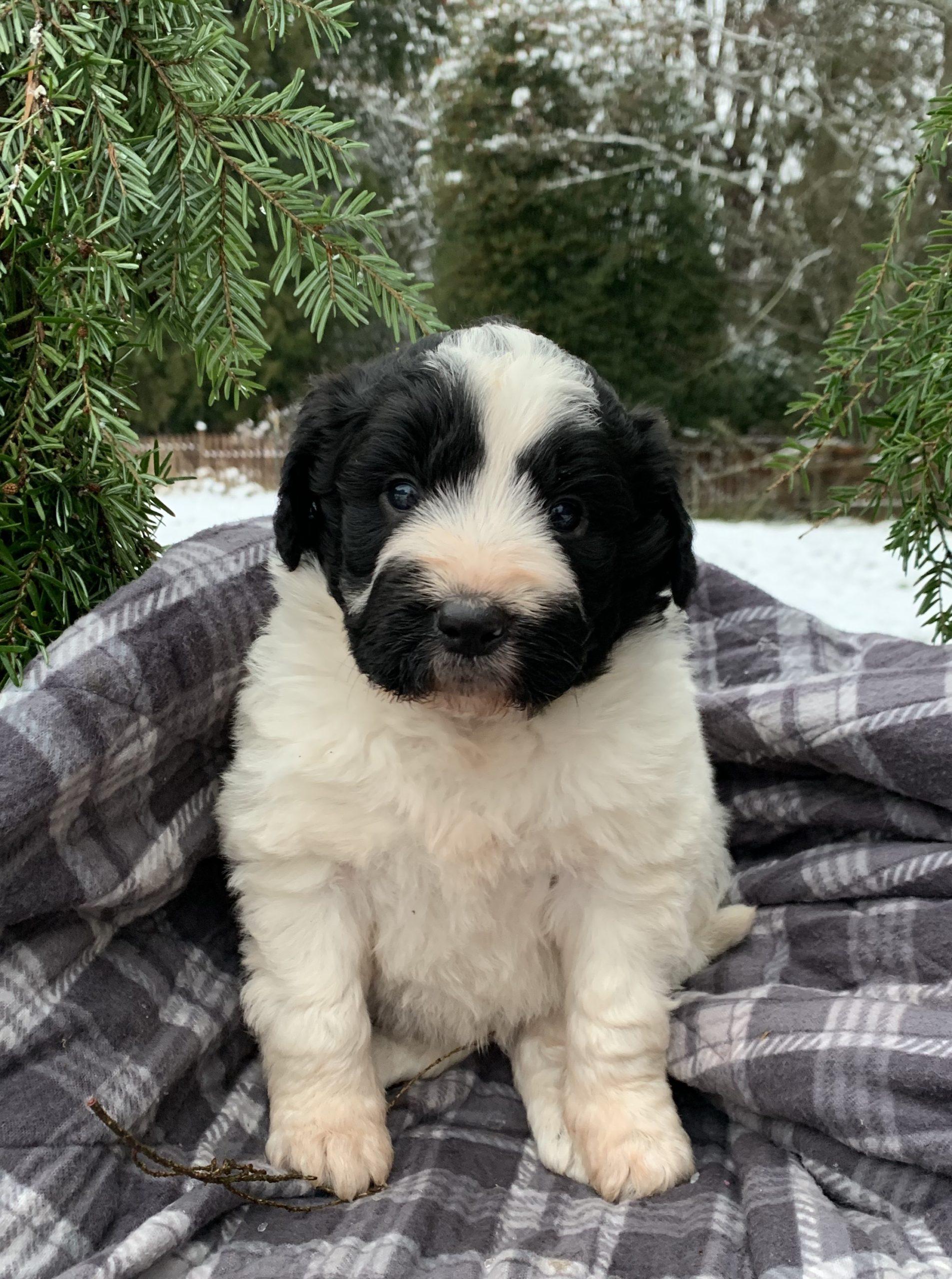 bordoodle puppy for sale -Lady Bandit