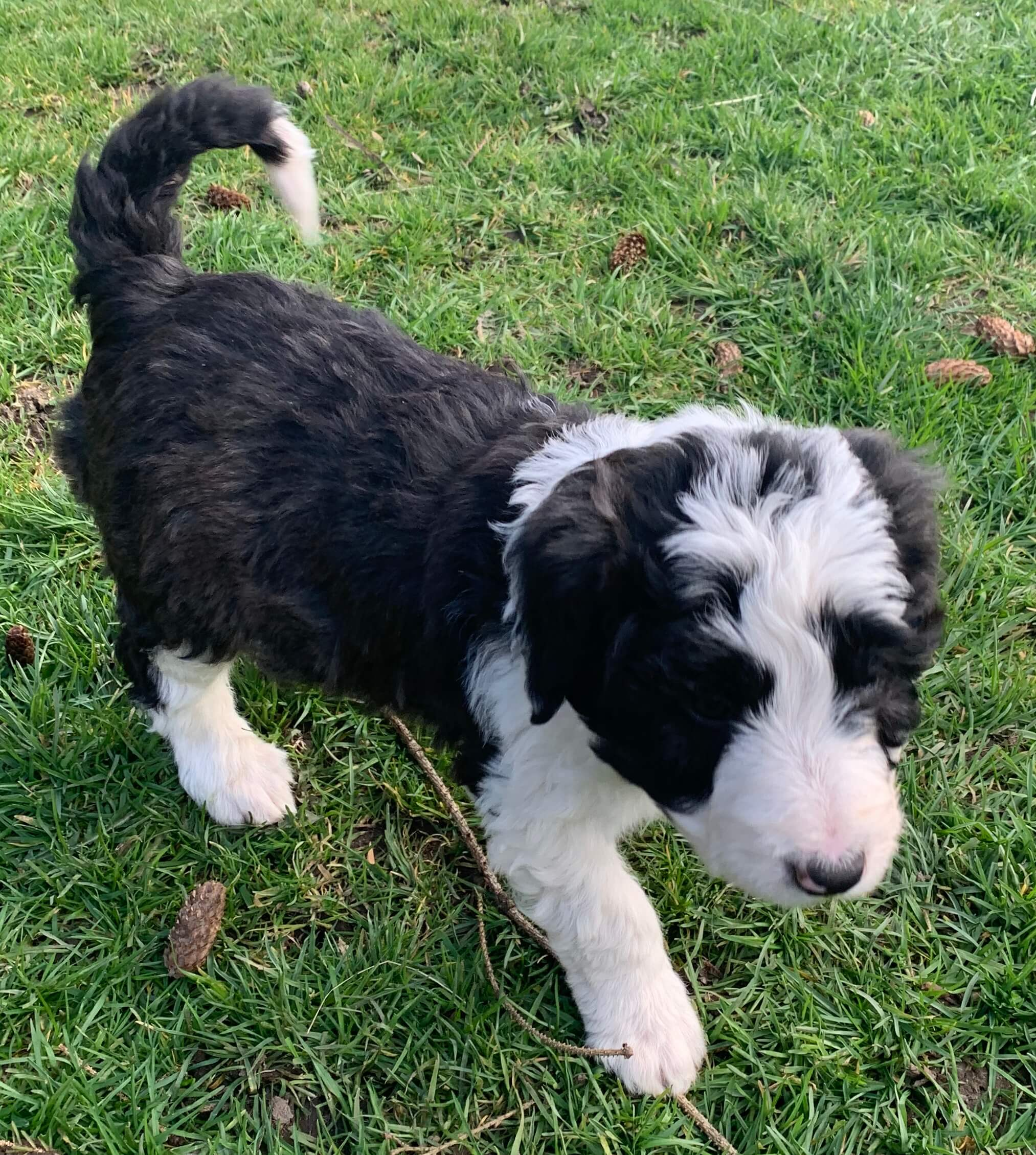 Bordoodle Puppy for sale - Brooke