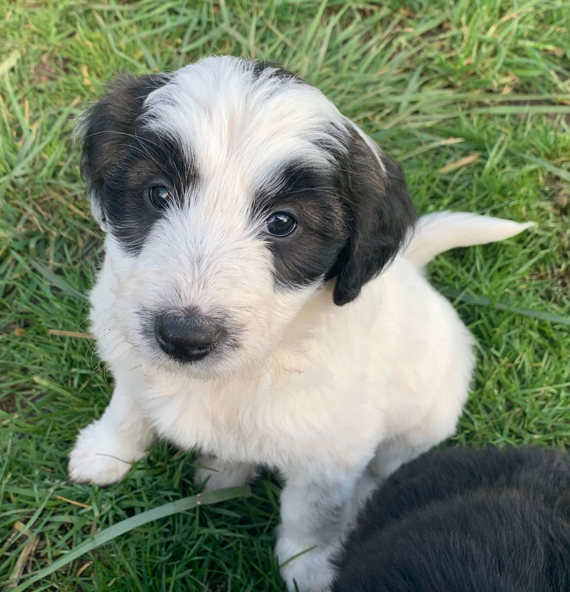 Bodoodle puppy for sale - Bonnie
