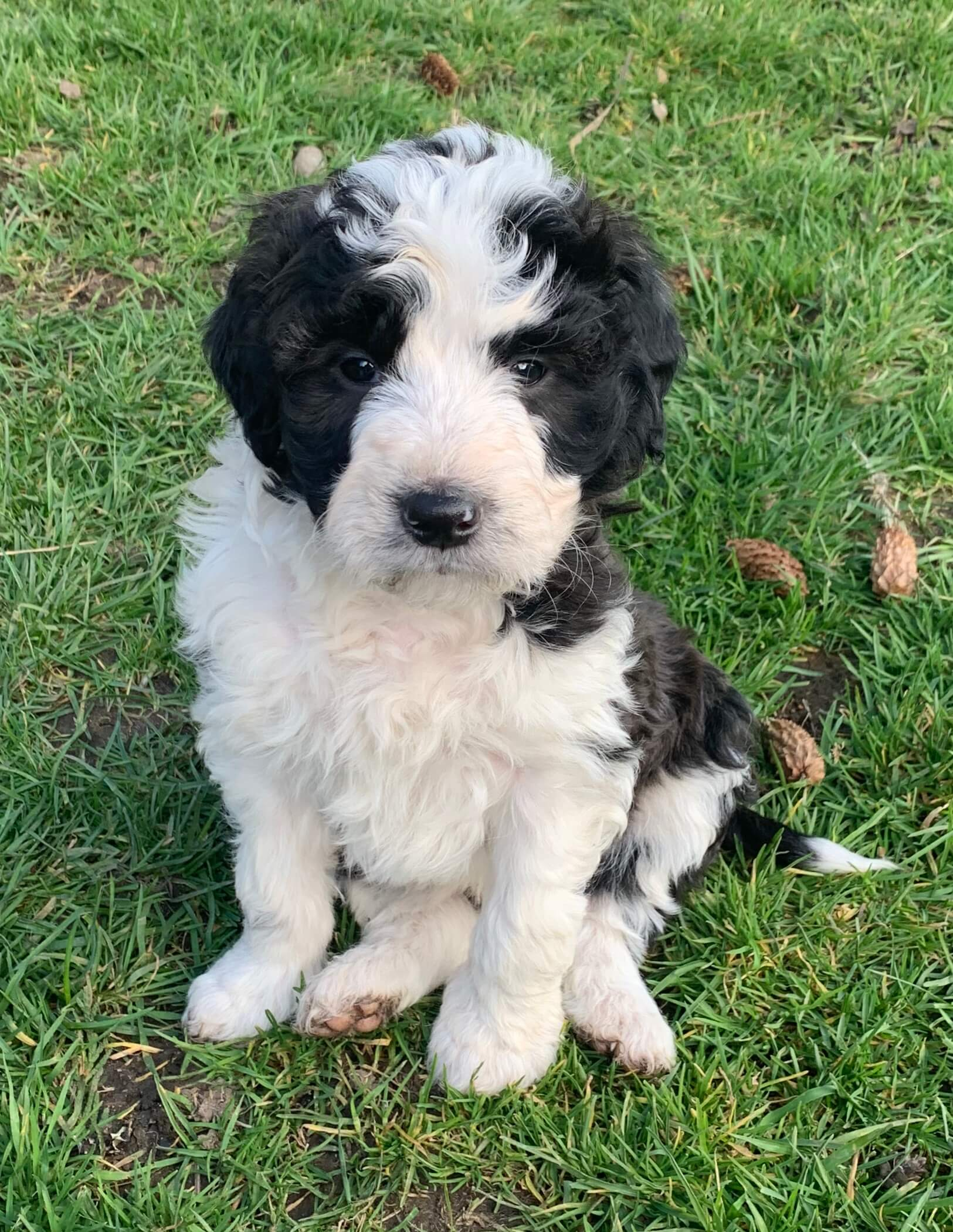 Bordoodle Puppy for sale - Pebbles